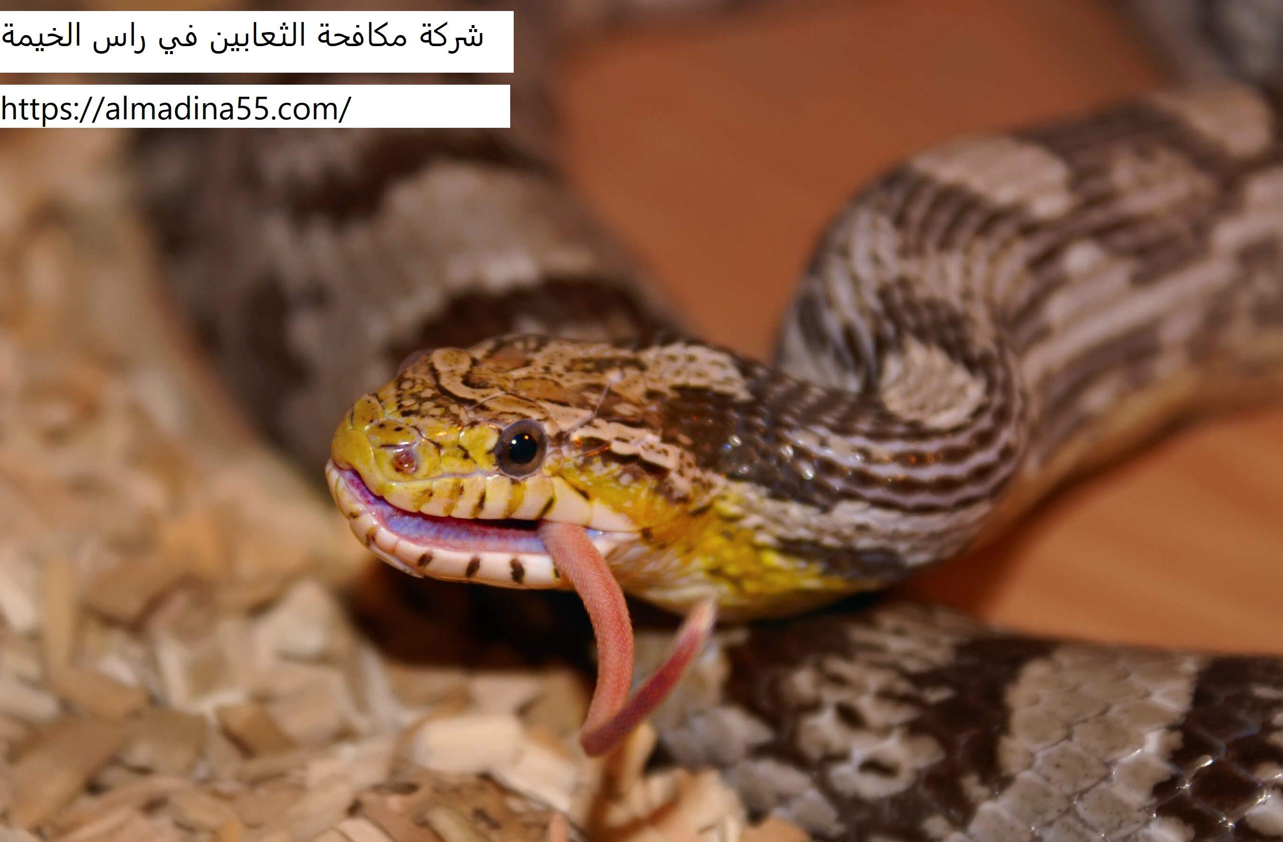 شركة مكافحة الثعابين في راس الخيمة