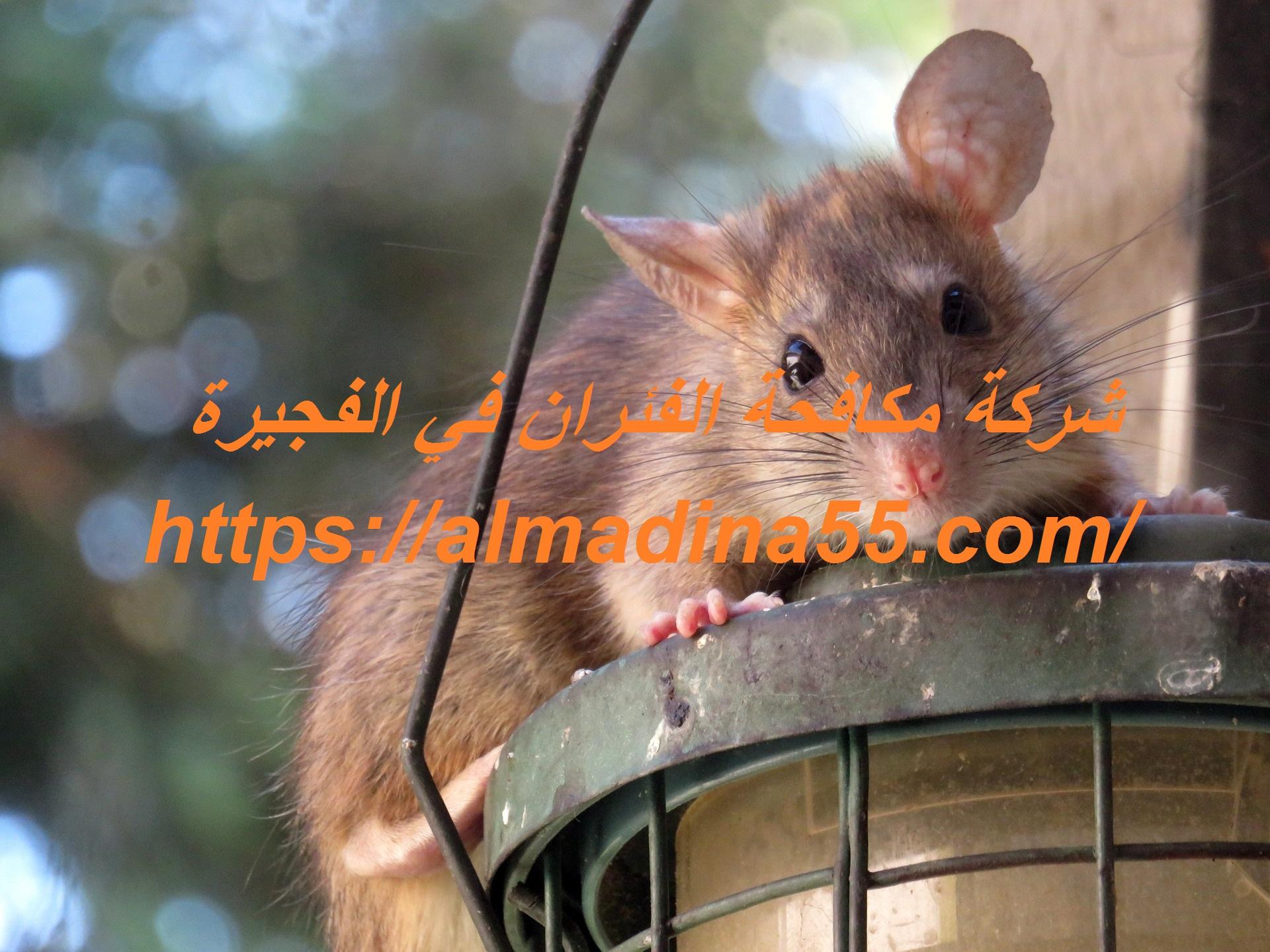 شركة مكافحة الفئران في الفجيرة