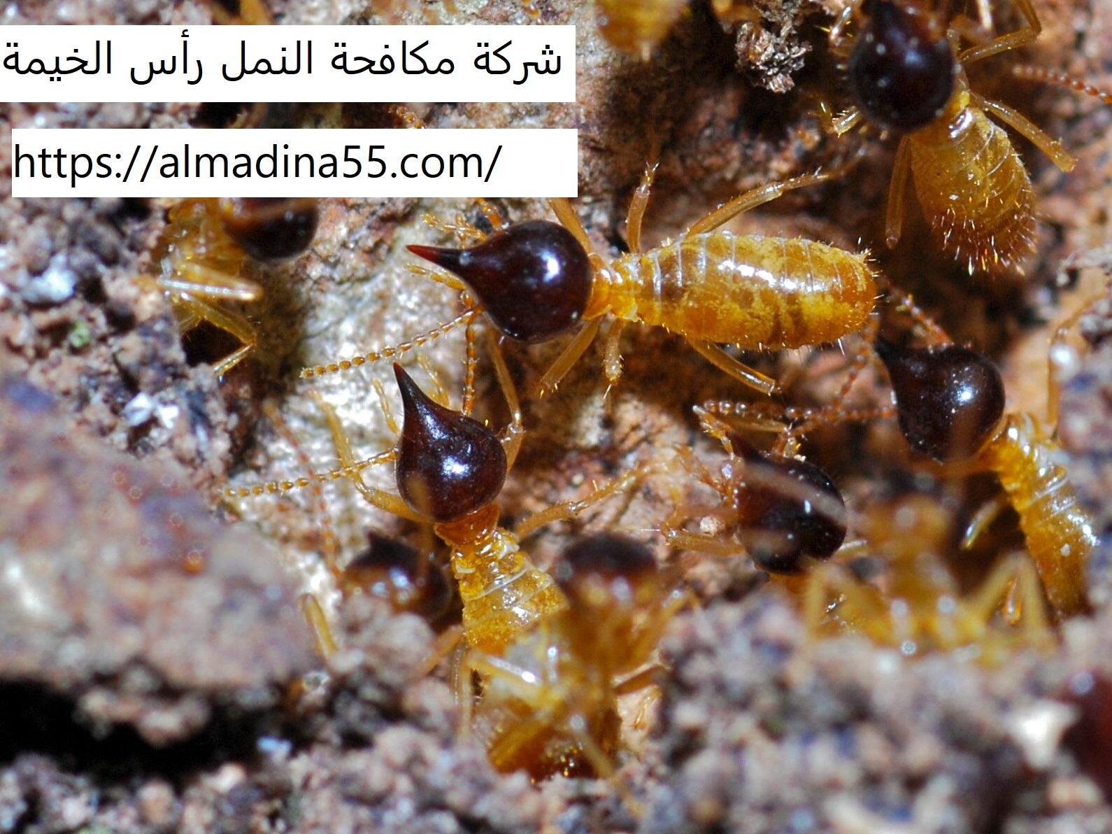 شركة مكافحة النمل رأس الخيمة